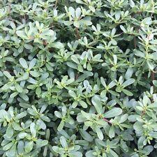Portulak Portulaca oleracea gesunder Salat mit viel Omega-3-Fettsäuren