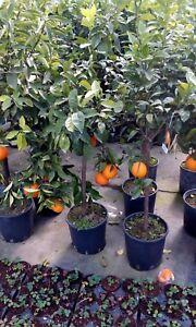 Pianta da frutto ARANCIO NAVEL in vaso 24 (foto reali)