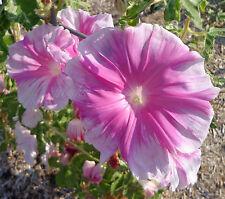 CHINA DOLL Morning Glory Seeds | HUGE INCREDIBLE BLOOMS | WAY BEYOND RARE
