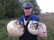 Seeds Mushroom Dozdevik Giant Puffball Mycelium Spawn Substrate Spores Ukraine