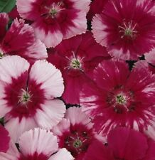 CHERRY PIE DIANTHUS red & pink flowers plants - large 4cell seedling punnet