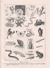 animal kingdom poster  vintage 1930's book plate  23 x 16cm