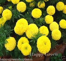 AFRICAN MARIGOLD - 300 seeds - YELLOW - Mary Helen - Tagetes erecta FLOWER