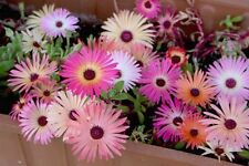 Livingstone Daisy Mix Seed  Low Grower Evergreen Semi Arid Living Easily Grown
