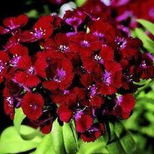 30+ CRIMSON RED DIANTHUS FLOWER SEEDS / PERENNIAL