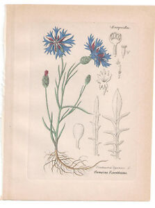 Antique Botanical Print Blue Centaurea Artus-Kirchner-1876