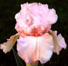 Iris Pink Attraction, Germanica, Bearded Iris, Pink,Fragrant Rebloom Medium a