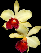 """Blc. Erin Kobayashi """"Amy Chen"""" Am/Aos; Nbs in 3.5"""" pot with 2 new growths"""
