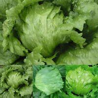 3000Pcs Green Iceberg Lettuce Lactuca Sativa Vegetable Food Seeds Home Garden