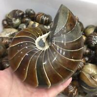 Natural Ammonite Shell Jurrassic Fossil Specimen Reiki Healing Madagascar Decor