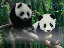 3D Lenticular Poster - Two PANDA Cubs - 12x16 Print - Wild Animals
