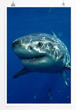 60x90cm Tierfotografie – Großer weißer Hai