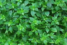 200 Samen Buschbasilikum – dekorative Heil- und Gewürzpflanze Basilikum