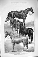 Old Antique Print 1876 Horse Show Agricultural Islington Liverpool Arab 19th
