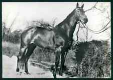 Warmblood Horse breed original old 1960s photo postcard