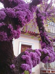 Cercis Canadensis, Eastern Redbud Cold Hardy Flowering Tree 20/60/200 Seeds