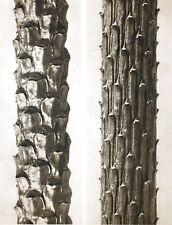 1942 FOTO ORIGINALE STAMPA ROTOCALCO PIASTRA 83. Karl Blossfeldt astratto botanico