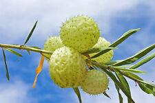 die tolle Ballonpflanze ist ein Geheimtipp unter den Pflanzenfreunden.