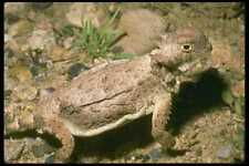087066 Desert Horned Lizard A4 Photo Print