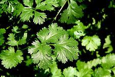 Japanische Petersilie - Mitsuba - Cryptotaenia japonica - winterhart, Topf,