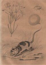 Chique (chigoe flea). Chironia. Chironecte (Water Opposum) 1834 old print