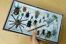 Real Bug Butterfly Insect Taxidermy Display in Framed Box New #02
