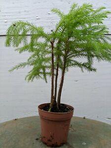 Norfolk Island Pine Pre Bonsai Tree