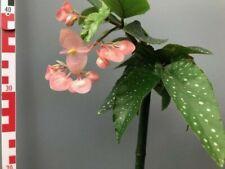 Begonia tamaya ! Houseplants / Zimmerpflanzen
