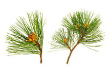 Huile essentielle de pin de Sibérie - 60ml - Pure et naturelle - Abies Sibirica