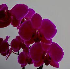 Phalaenopsis Purple Dreamer Dark blühstarke Pflanze Orchidee Orchideen