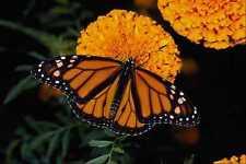 432023 Monarch Danaus Plexipus A4 Photo Print