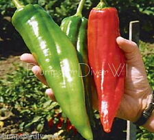 "Numex Big Jim 12"" LONG! 50+ Chiles Rellenos Pepper Mild Heat Organic NON-GMO"