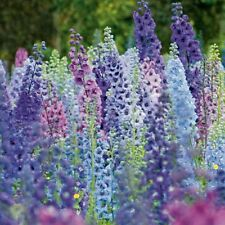 25+ GIANT DELPHINIUM MAGIC FOUNTAINS MIX FLOWER SEEDS MIX / PERENNIAL