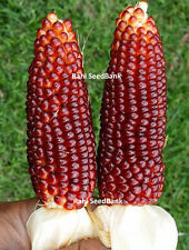 Sweet Red Corn - A Gorgeous Ornamental Medium Sized Popcorn Variety - 5 Seeds!!!