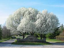 10 Semillas de Pyrus Calleryana  (Peral de flor) Codigo 979