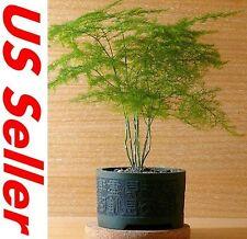 7 PCS Setose Asparagus Seeds T30, Asparagus Fern Asparagus Setaceus Organic