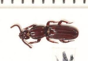 Rhysodidae sp.  WEST YUNNAN (2)