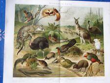 "CHROMLITHOGRAFIE ""AUSTRALISCHE FAUNA"", UM 1895"