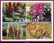 1000 Graines de fleurs Annuelles, AMARANTE Différentes variétés en Mélange