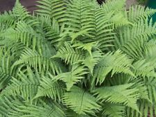 Marginal Wood Fern Dryopteris marginalis 5 BARE ROOT for $7.95