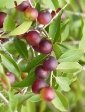 3,79 €/100 Taille camu-camu-Fruit Poudre-Vitamine C-Bombe-Livraison gratuite!