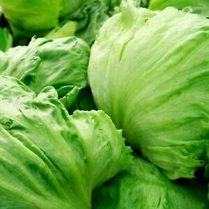 Seeds Iceberg Lettuce Salad Green Vegetable Organic Heirloom Russian Ukraine