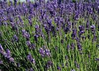 1000 Samen Lavendel, Lavandula angustifolia, Bienenweide, Kräutergarten