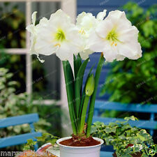 Amaryllis Lily White Papper Bulbs Flowers Symbolizes Love (Papilio Hippeastrum)
