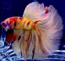 Live Betta Fish Male Import Nemo Halfmoon 🔥 Betta #669