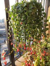 Kalanchoe Uniflora  x1 Healthy Cutting Rare Plant- FREE POSTAGE