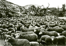 "Margaret Bourke-White Photo ""Sheep, Bombed-out German Air Hanger"" 1945"
