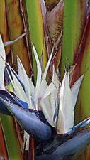 White Bird of Paradise Seed (Strelitzia nicolai) 10 Seeds