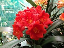 Best Perennial Flower Real Red Clivia Flower Seed Decorative Flowers 1 Pcs