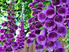 50+ Digitalis Purple Foxglove Flower Seeds / Biennial